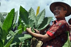 Gubernur Jawa Tengah Ganjar Pranowo melakukan panen perdana tembakau di kawasan lereng Gunung Sumbing Desa Wonosari, Bulu, Temanggung, Jateng. ANTARA FOTO/ANIS EFIZUDIN