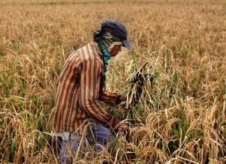 Petani yang mengalami gagal panen memisahkan sisa padi berisi dengan gabah kosong di Kasemen, Serang, Banten. ANTARA FOTO/Asep Fathulrahman