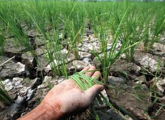 Seorang petani menunjukkan padinya yang mengalami kekeringan di Batipuhpanjang, Padang, Sumbar. ANTARA FOTO/Iggoy el Fitra