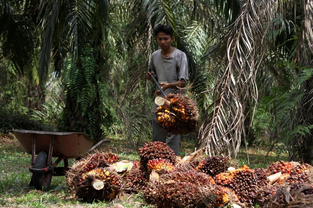 Petani mengumpulkan bongkahan kelapa sawit di kebun miliknya di Kampar, Riau, Senin (10/8). Petani sawit mengeluhkan tidak stabilnya harga sawit dimana harga sawit di Kampar, Riau saat ini mengalami penurunan dari Rp1.400 per kg menjadi Rp 950 per kg. ANTARA FOTO/Rony Muharrman/Spt/15