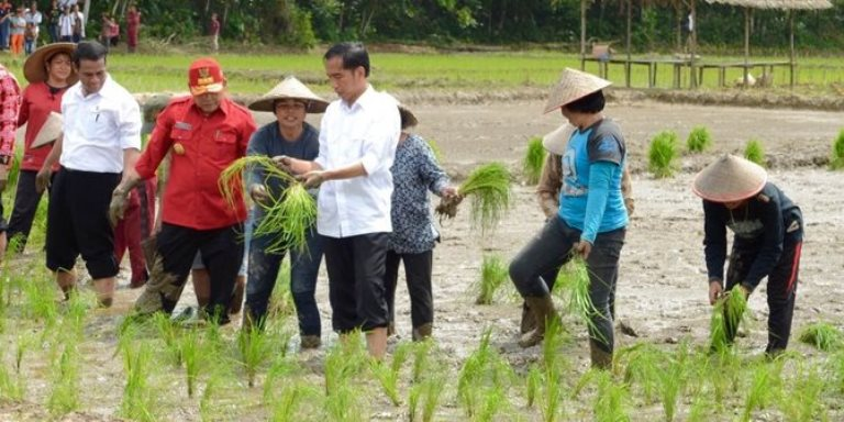 Jokowi menanam padi di kalimantan. ©Setpres RI/agus s