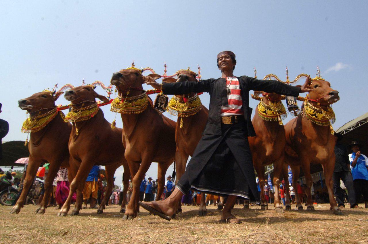 Seorang peserta mengarak pasangan sapi sonok (hias) saat festival Sapi Sonok seluruh Madura di Stadion Soenarto Hadiwidjojo, Pamekasan, Jatim, Minggu (25/10). Festival sapi hias tersebut merupakan rangkaian dari karapan sapi Piala Presiden. ANTARA FOTO/Saiful Bahri/aww/15.