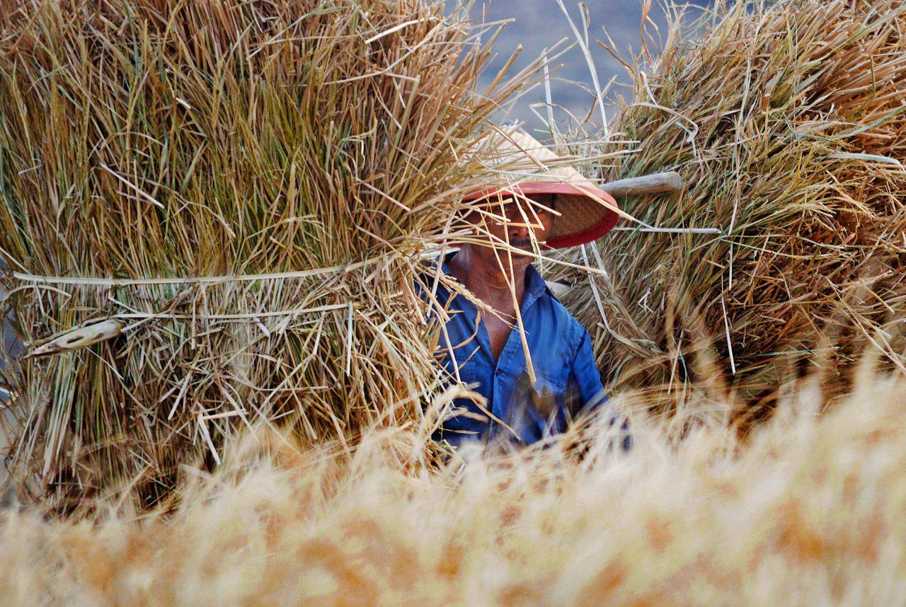 Warga memikul jerami kering melintas di persawahan di Kabupaten Madiun, Jawa Timur, Minggu (1/11). Akibat kesulitan mendapatkan air pada musim kemarau, banyak tanaman padi di wilayah tersebut yang mati mengering dan tak bisa dipanen. ANTARA FOTO/Siswowidodo/foc/15.