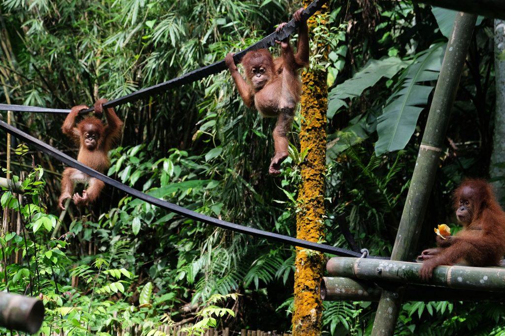 Tiga bayi Orangutan Sumatera (Pongo abelii) berlatih memanjat di karantina Sumatran Orangutan Conservation Program (SOCP) di Batu Mbelin, Sibolangit, Deli Serdang, Sumatera Utara, Rabu (16/11). Sebanyak 45 Orangutan Sumatera menjalani karantina di lokasi tersebut, sementara sejak 2001 sebanyak 270 orangutan telah dilepasliarkan ke kawasan Taman Nasional Bukit Tigapuluh, Jambi dan di Hutan Konservasi Jantho, Aceh Besar setelah menjalani karantina. ANTARA FOTO/Irsan Mulyadi/ama/16